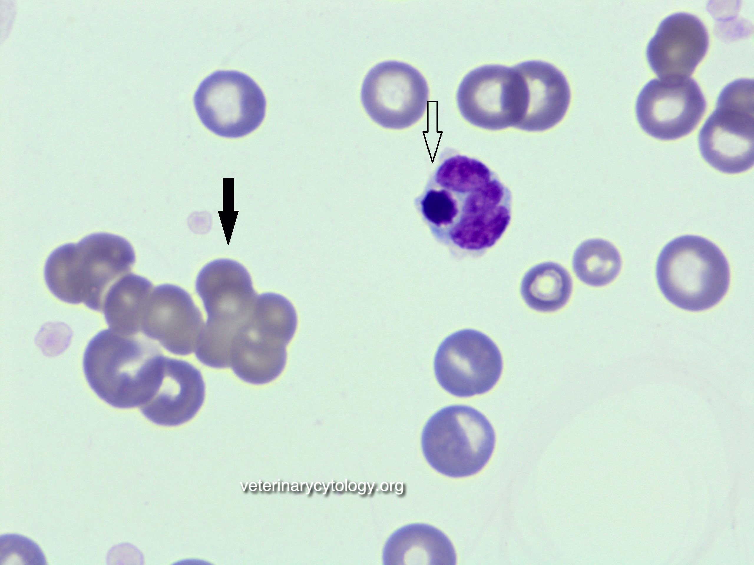 IMHA (agglutination and phagocytosis of nucleated of red blood cell)