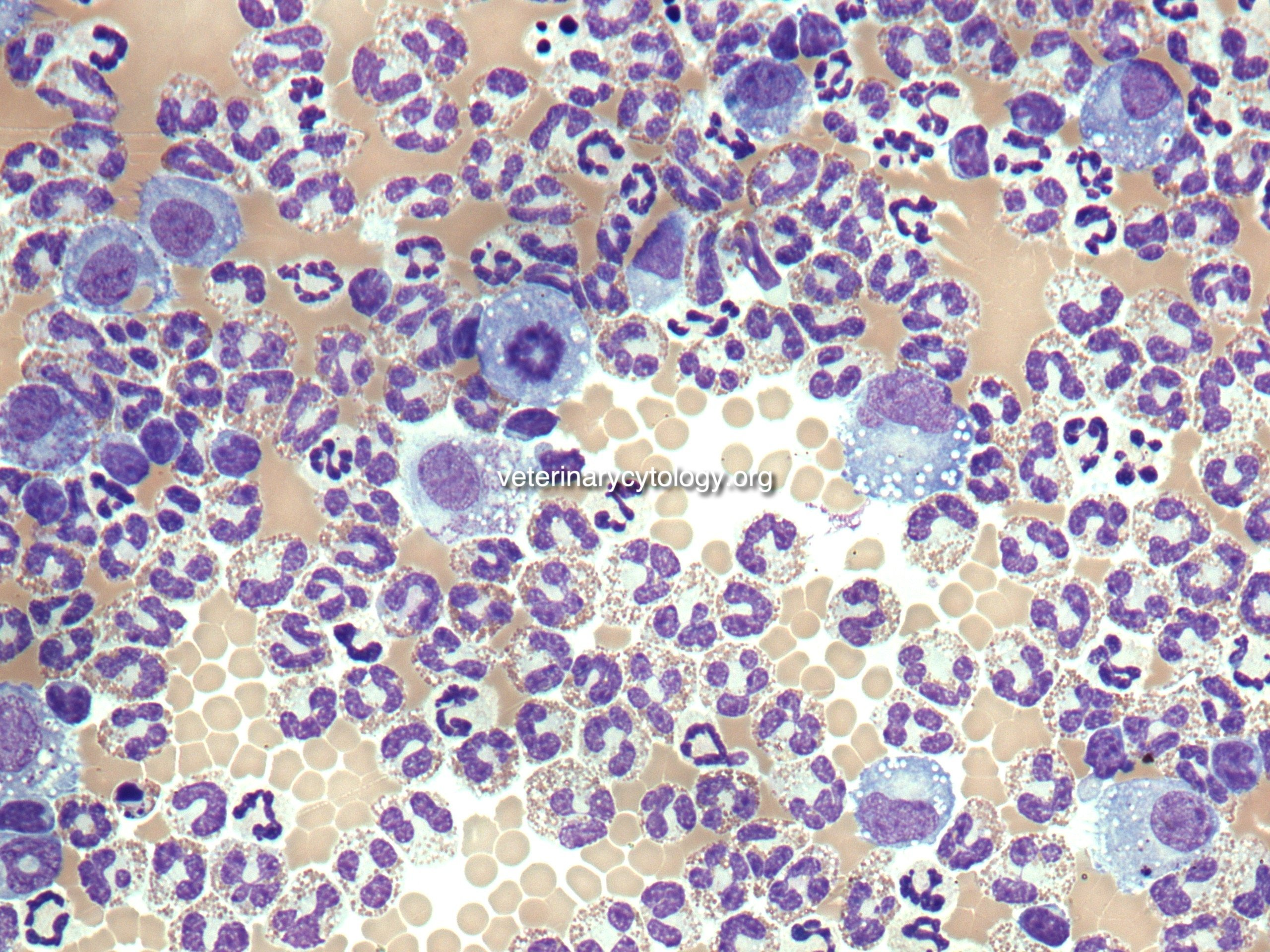 Eosinophilic effusion, abdominal fluid, dog.