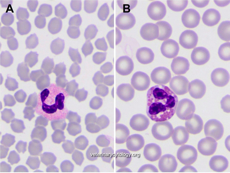 Feline (A) vs Canine (B) eosinophils