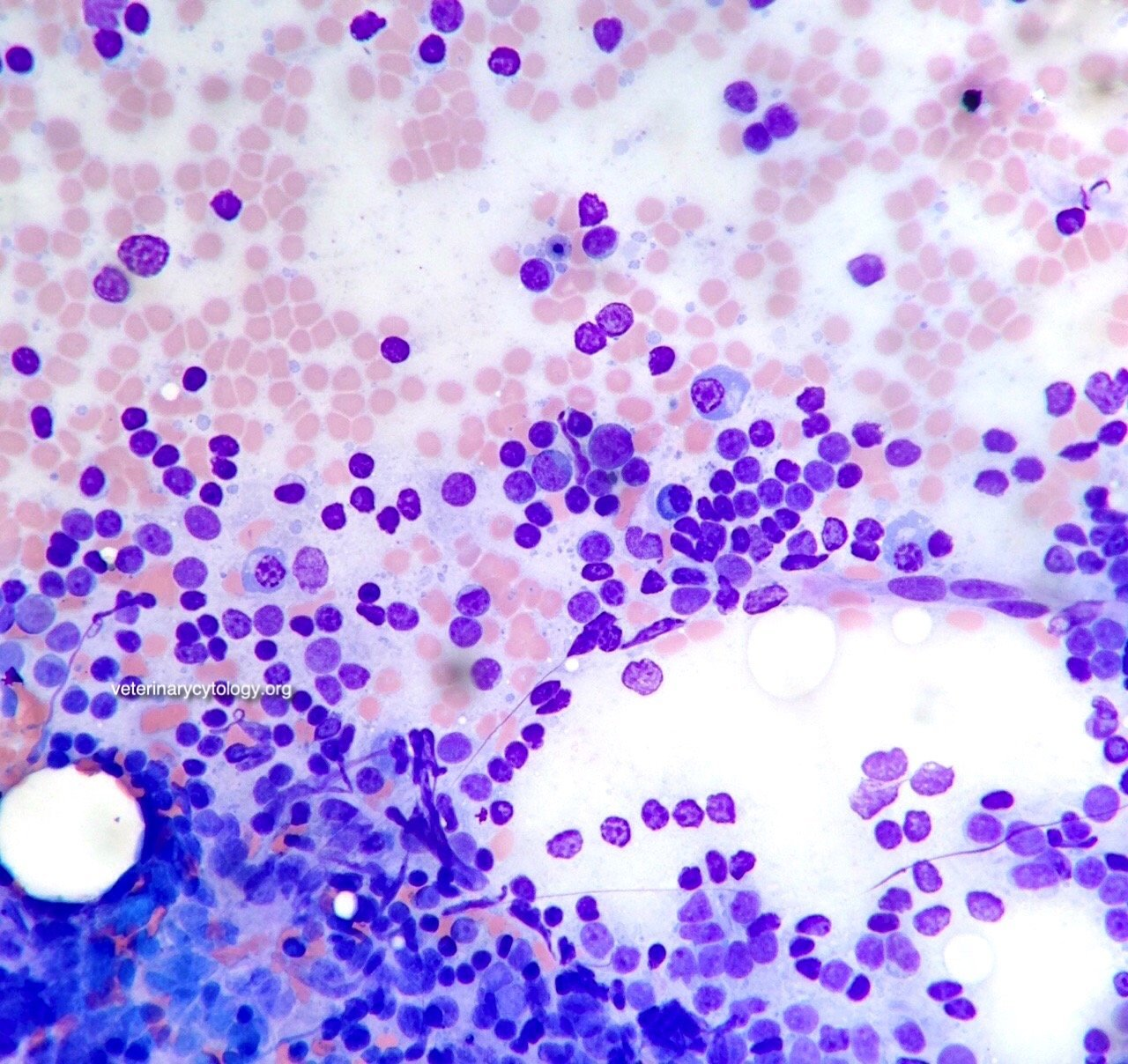 Reactive lymphoid hyperplasia, spleen, dog.