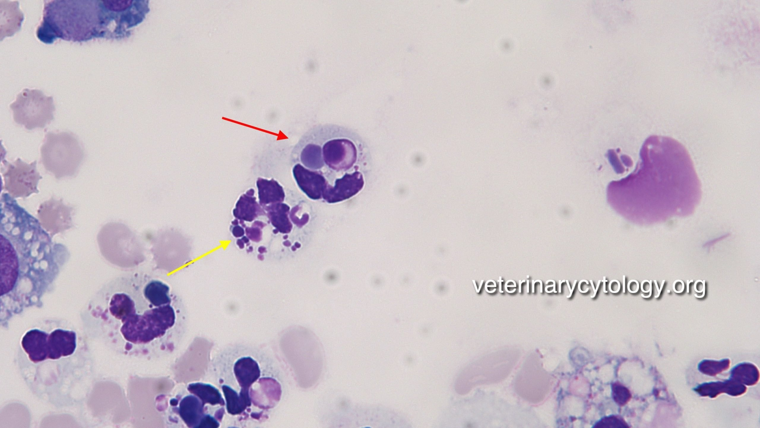 Systemic Lupus Erythematosus (SLE), synovial fluid, dog.