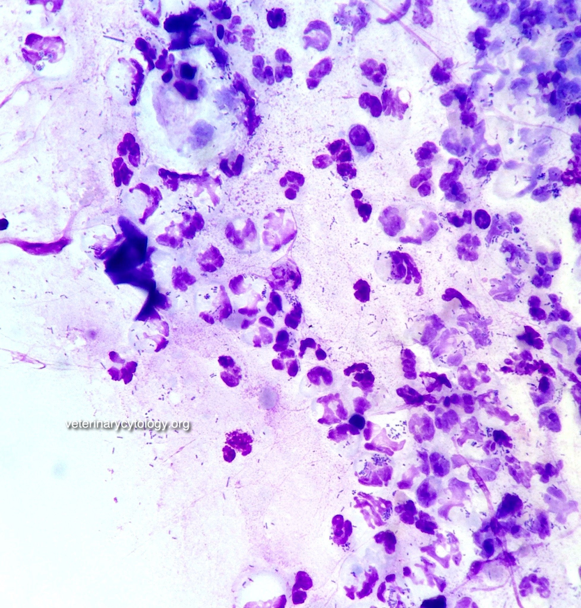 Septic neutrophilic inflammation, ear, dog.