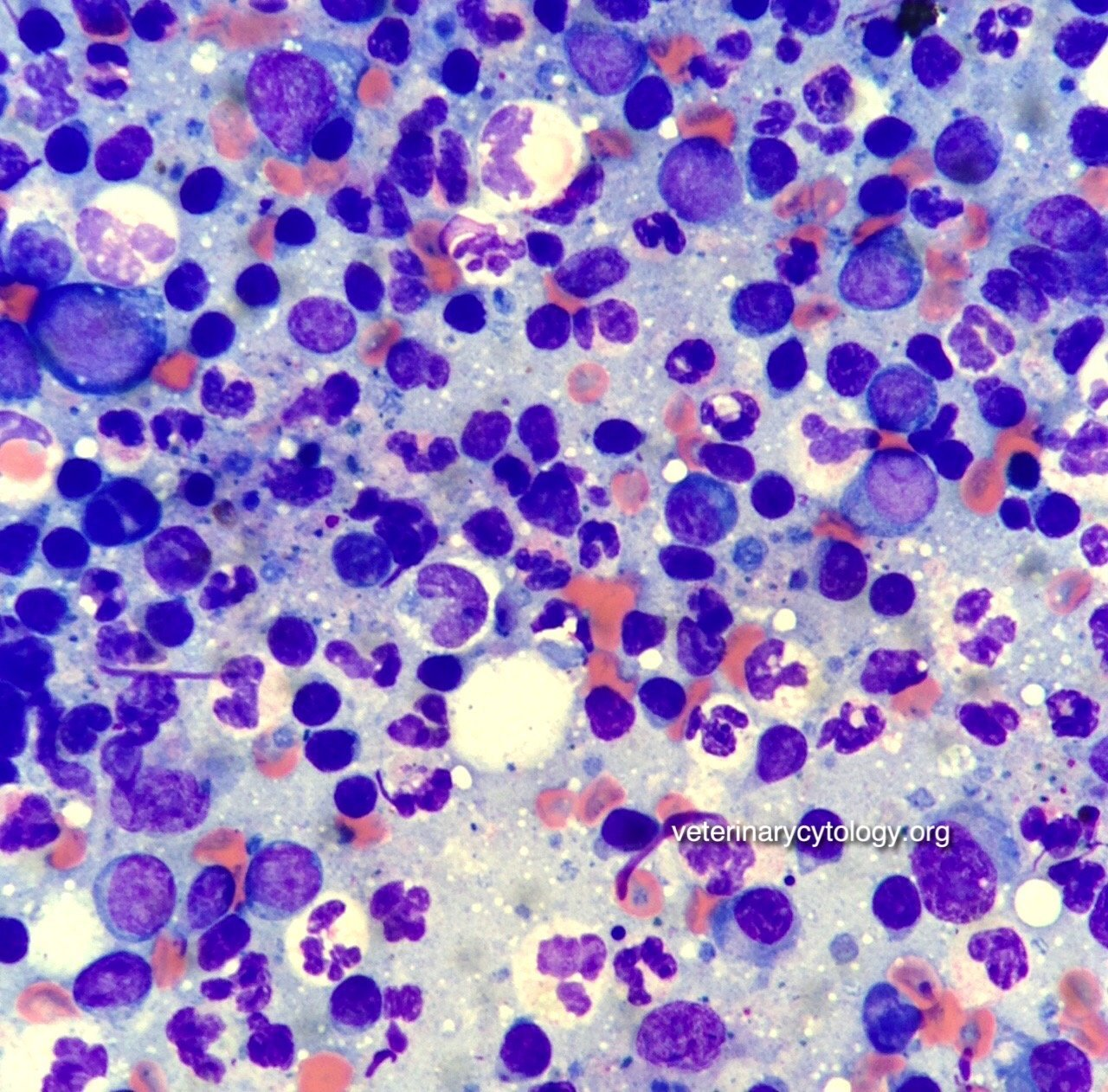Neutrophilic lymphadenitis, lymph node, dog.